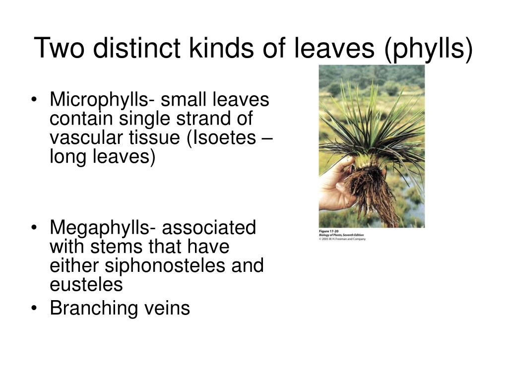 Two distinct kinds of leaves (phylls)