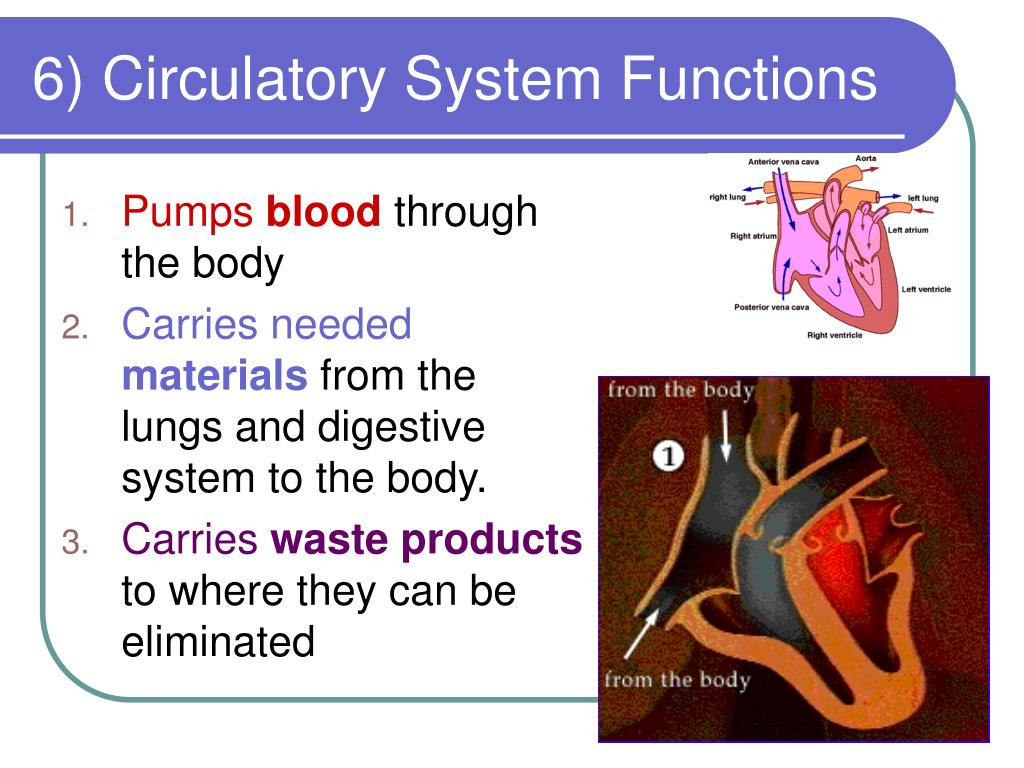 6) Circulatory System Functions