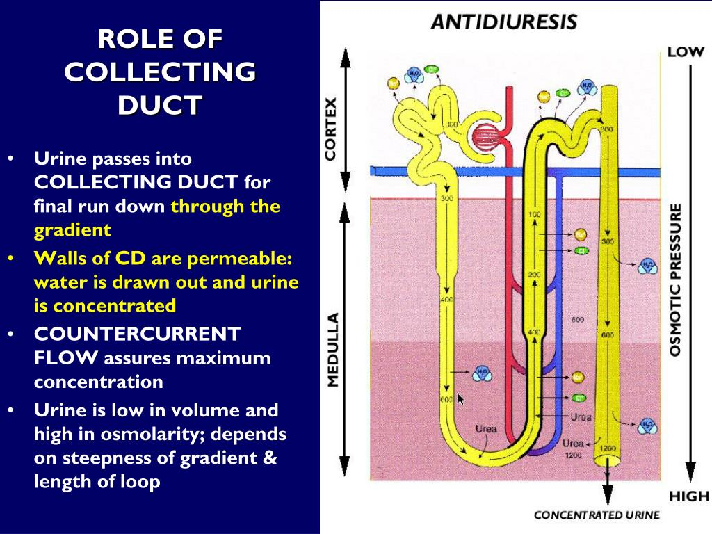 ROLE OF COLLECTING DUCT