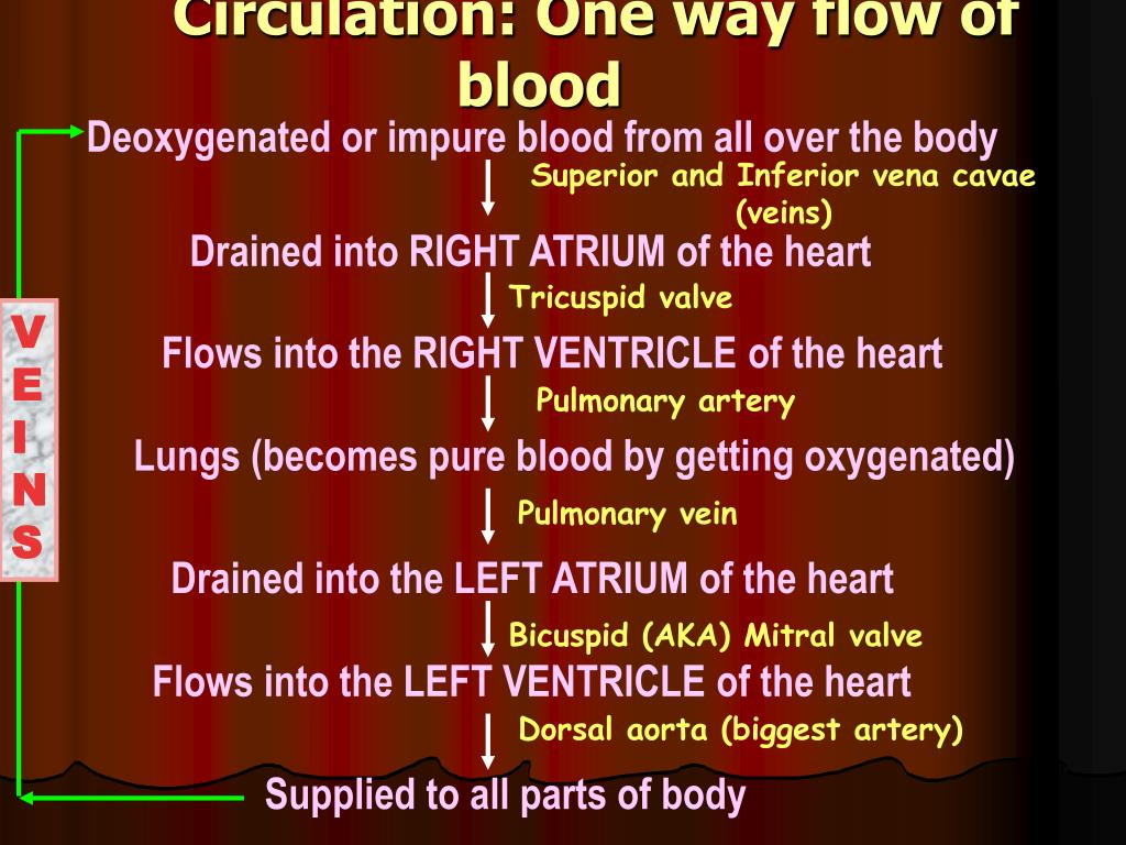 Circulation: One way flow of blood
