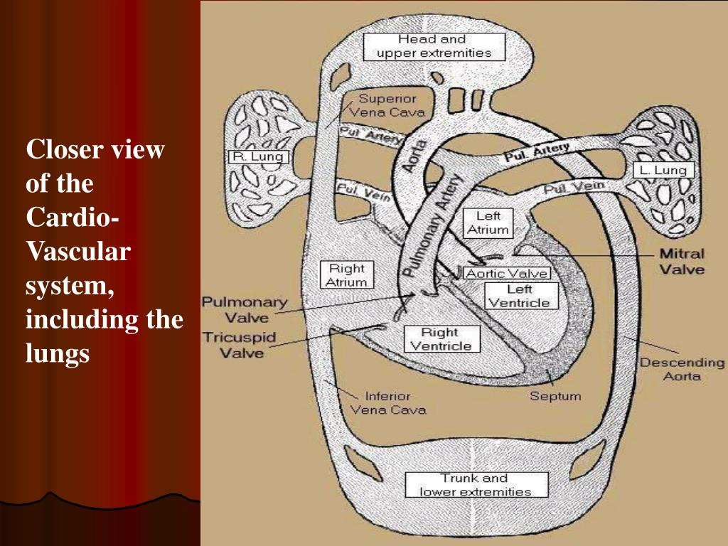 Closer view of the Cardio-Vascular system, including the lungs