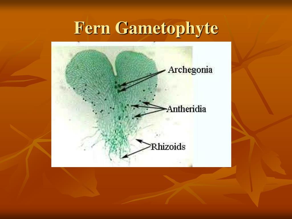 Fern Gametophyte
