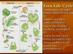 fern life cycle18