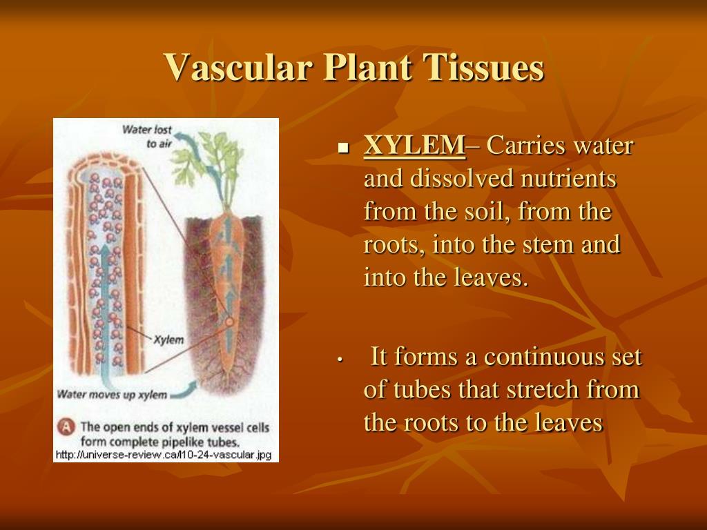 Vascular Plant Tissues