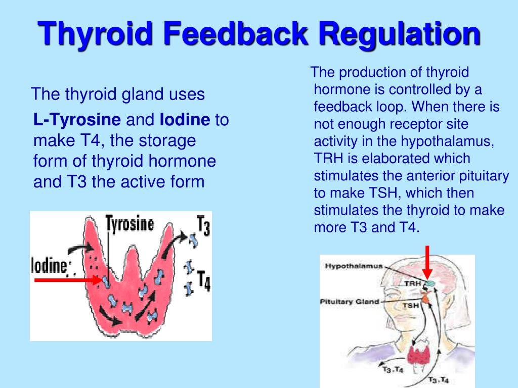 The production of thyroid hormone is controlled by a feedback loop. When there is not enough receptor site activity in the hypothalamus, TRH is elaborated which stimulates the anterior pituitary to make TSH, which then stimulates the thyroid to make more T3 and T4.