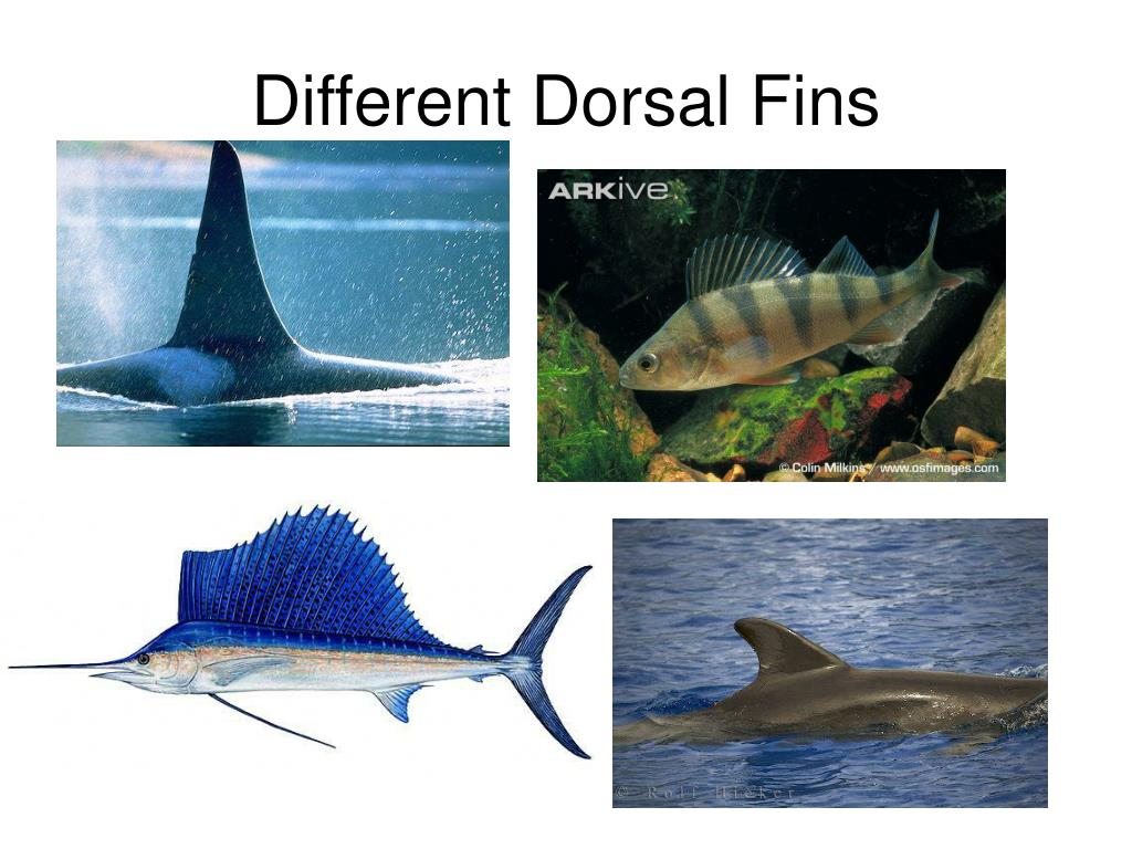 Different Dorsal Fins