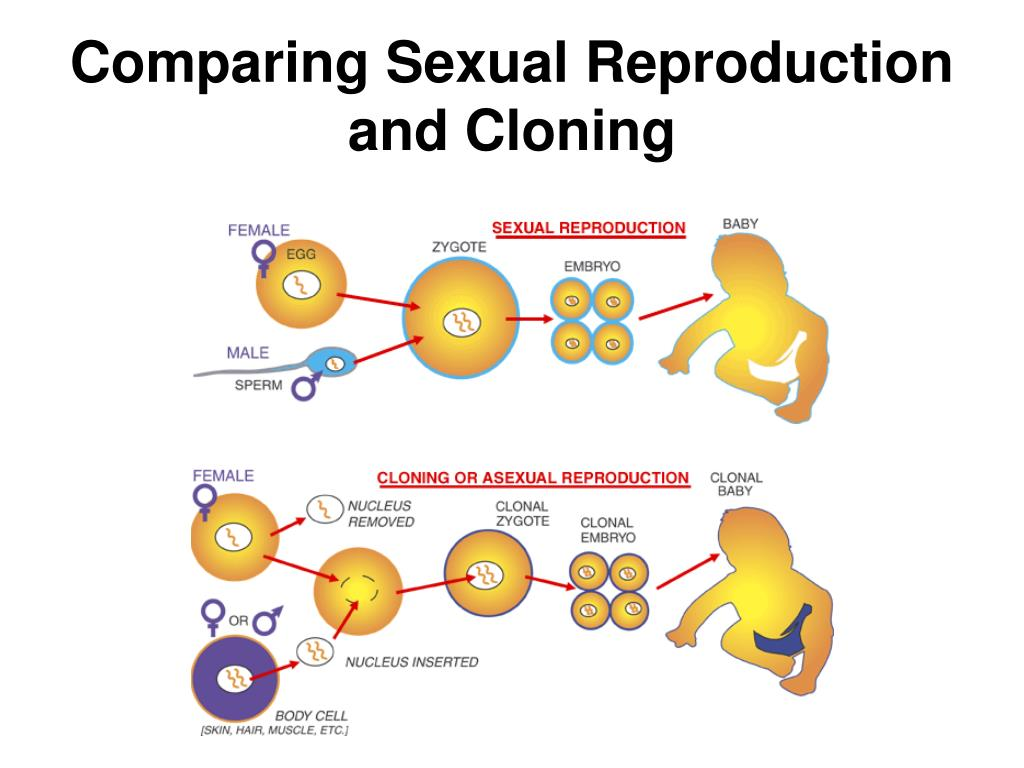 Comparing Sexual Reproduction and Cloning