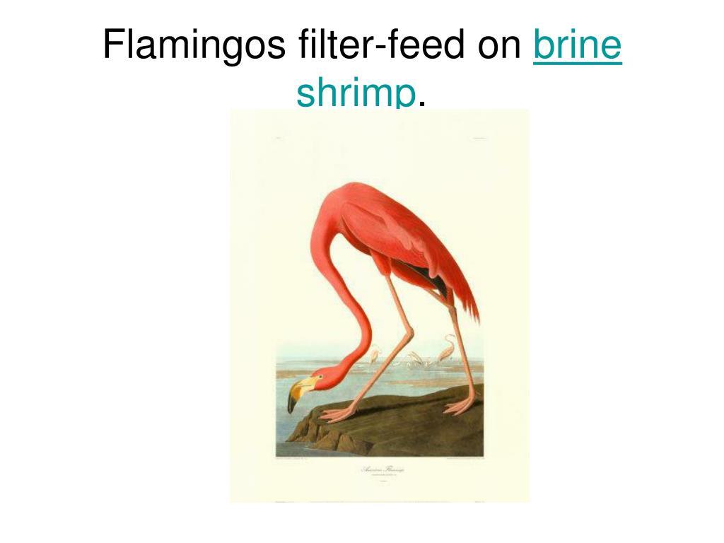 Flamingos filter-feed on