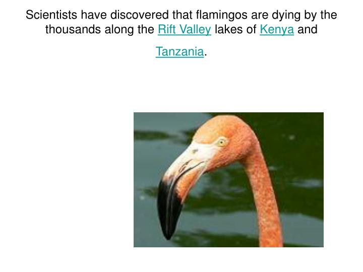 Scientists have discovered that flamingos are dying by the thousands along the