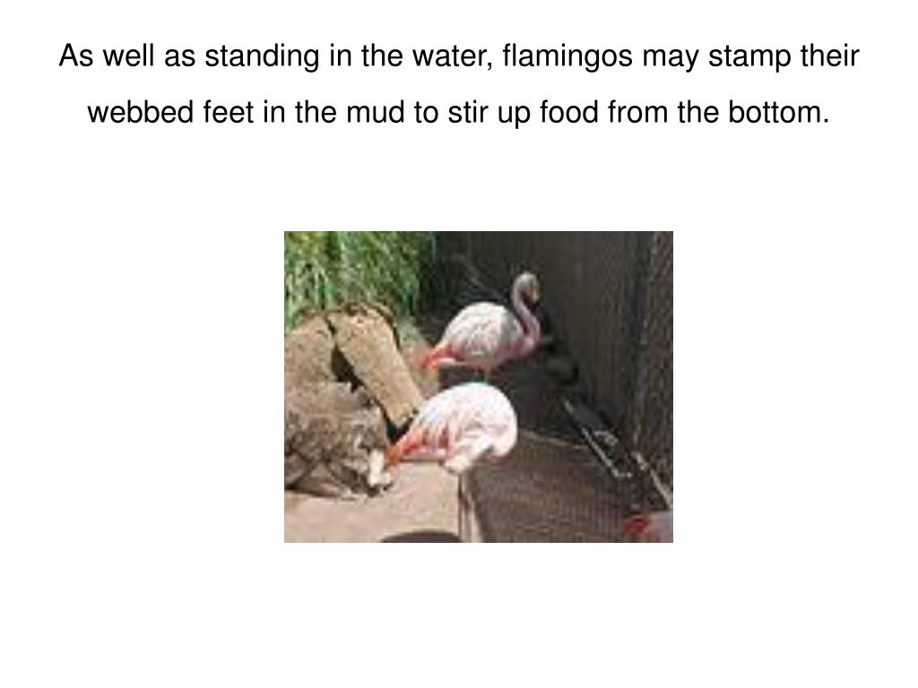 As well as standing in the water, flamingos may stamp their webbed feet in the mud to stir up food from the bottom.