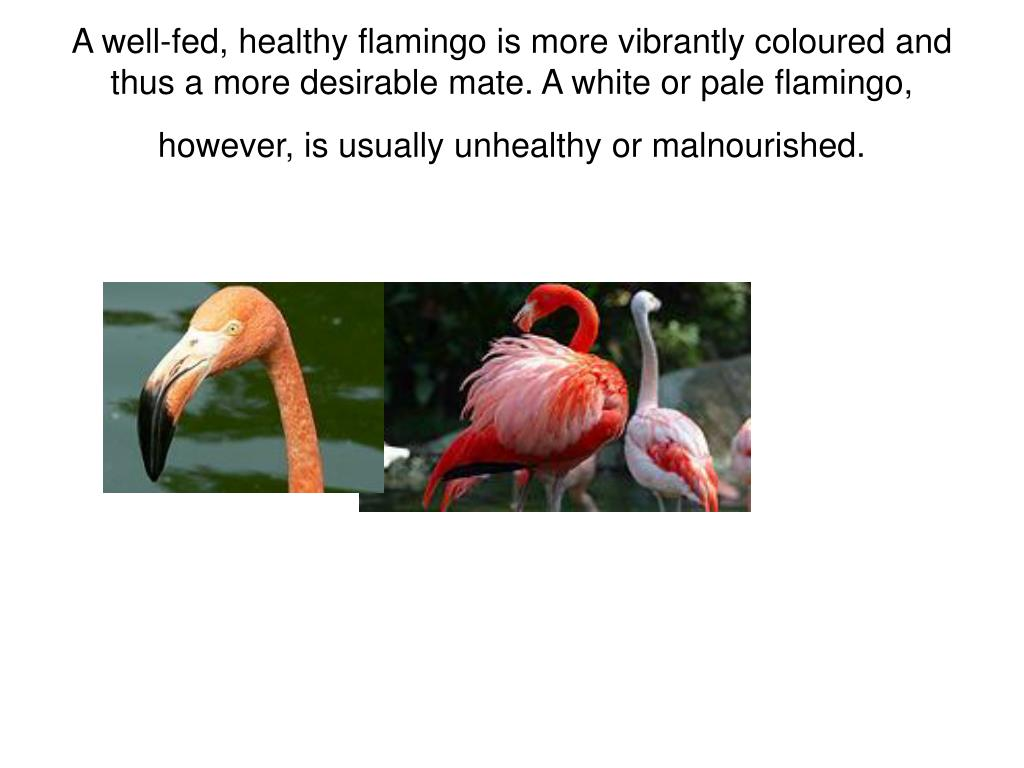 A well-fed, healthy flamingo is more vibrantly coloured and thus a more desirable mate. A white or pale flamingo, however, is usually unhealthy or malnourished.