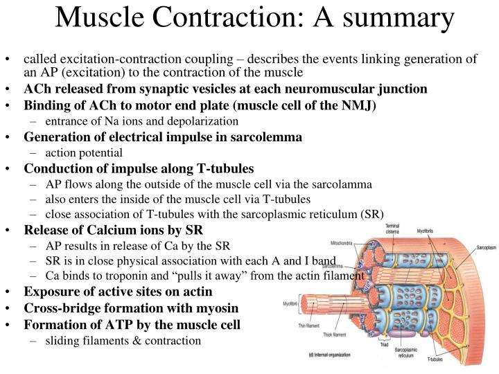 Process of muscular contraction