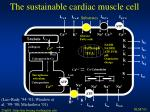 the sustainable cardiac muscle cell