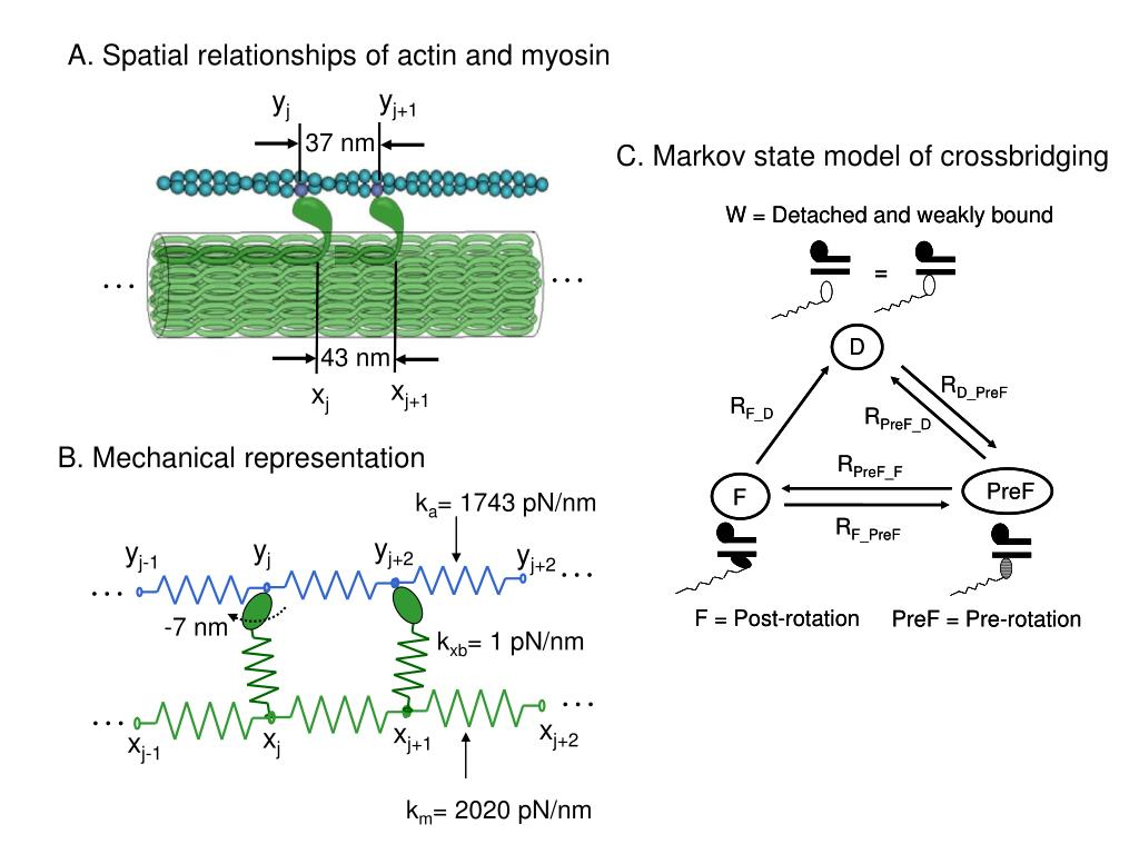 A. Spatial relationships of actin and myosin