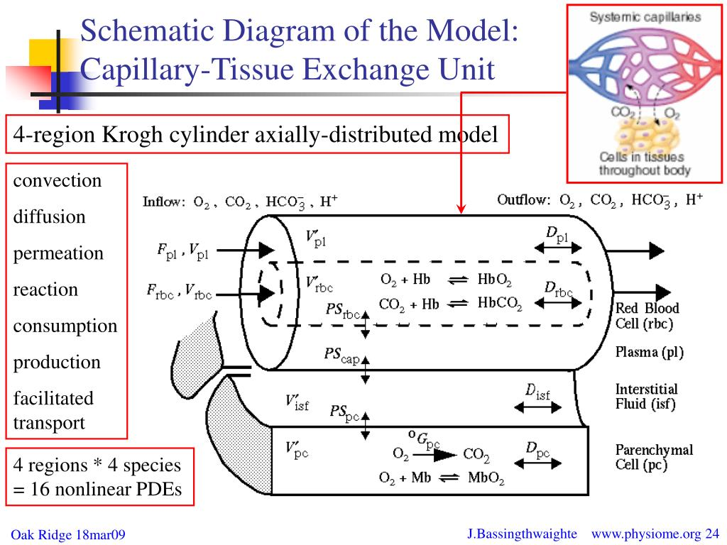 4-region Krogh cylinder axially-distributed model