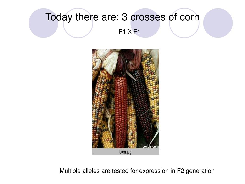 Today there are: 3 crosses of corn