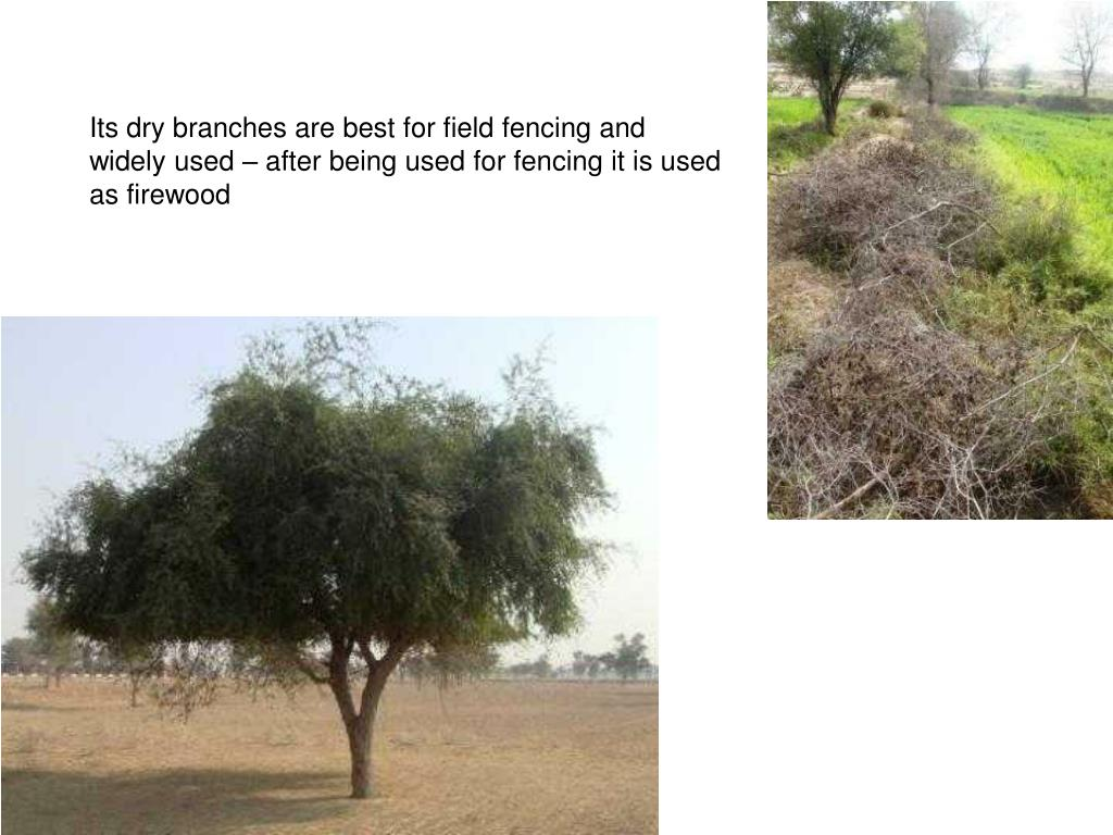 Its dry branches are best for field fencing and widely used – after being used for fencing it is used as firewood