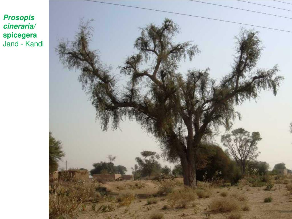 Prosopis cineraria/
