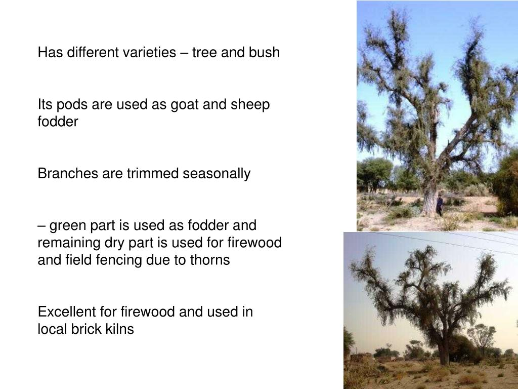 Has different varieties – tree and bush