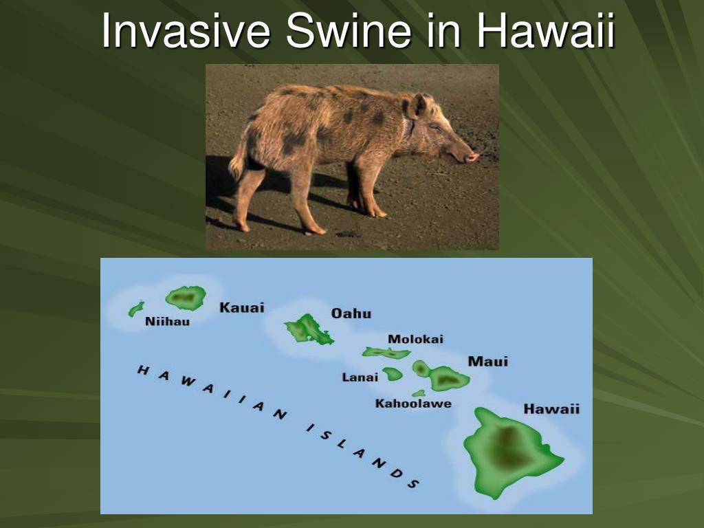 Invasive Swine in Hawaii