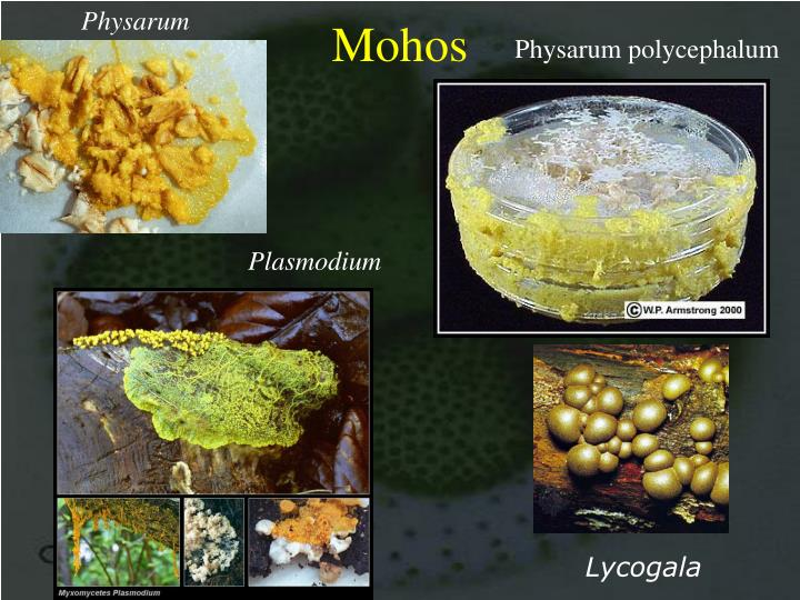 Physarum