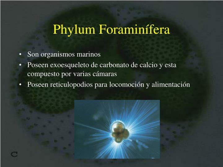 Phylum Foraminífera