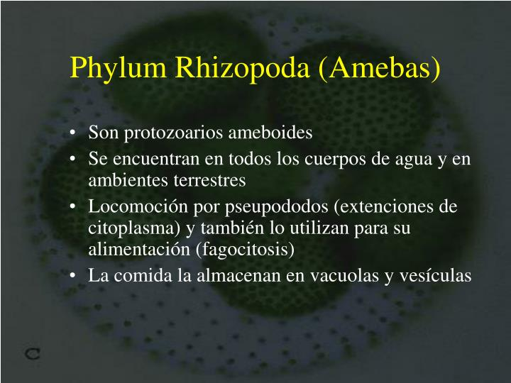Phylum Rhizopoda (Amebas)
