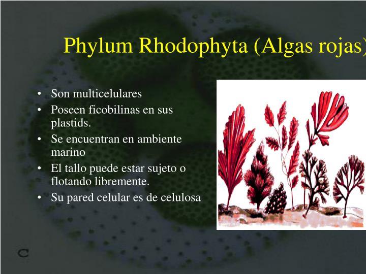 Phylum Rhodophyta (Algas rojas)