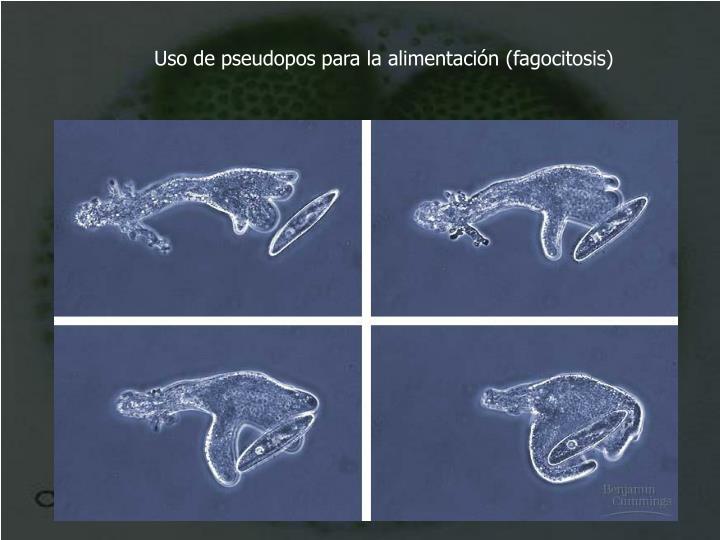 Uso de pseudopos para la alimentación (fagocitosis)
