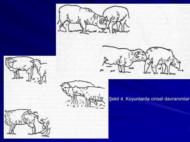 Şekil 4. Koyunlarda cinsel davranımlar