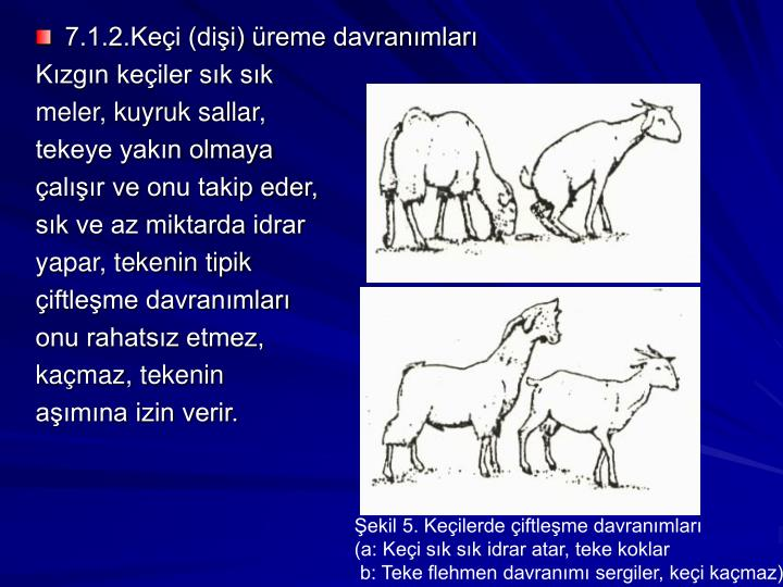 7.1.2.Keçi (dişi) üreme davranımları