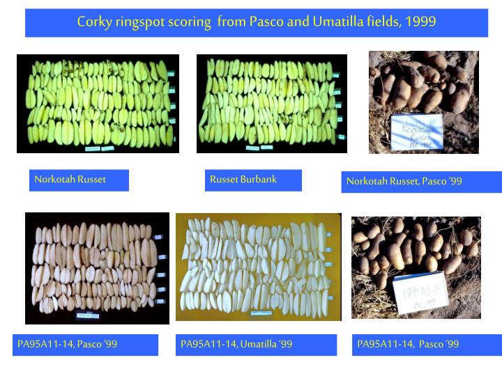 Corky ringspot scoring  from Pasco and Umatilla fields, 1999