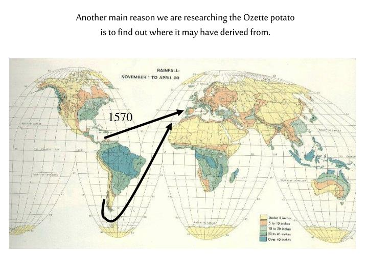 Another main reason we are researching the Ozette potato is to find out where it may have derived from.