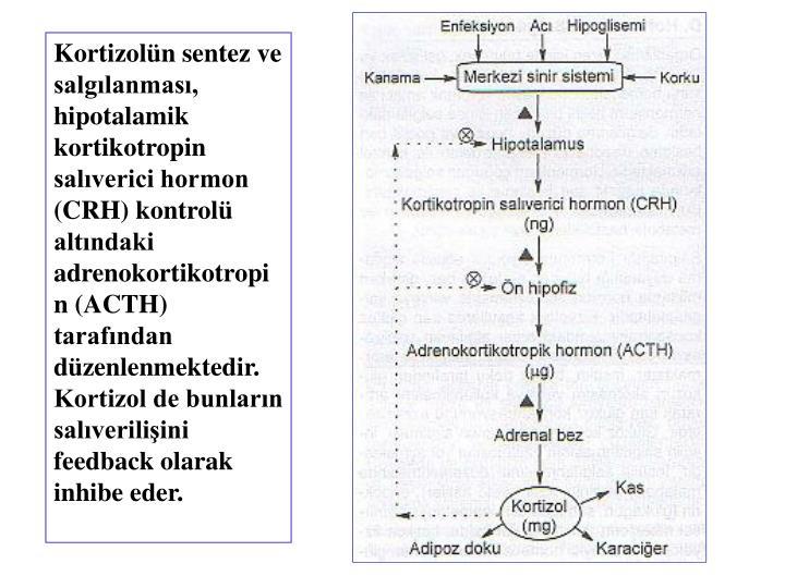 Kortizolün sentez ve salgılanması, hipotalamik kortikotropin salıverici hormon (CRH) kontrolü altındaki adrenokortikotropin (ACTH) tarafından düzenlenmektedir. Kortizol de bunların salıverilişini feedback olarak inhibe eder.