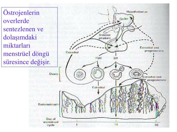 Östrojenlerin overlerde sentezlenen ve dolaşımdaki miktarları menstrüel döngü süresince değişir.
