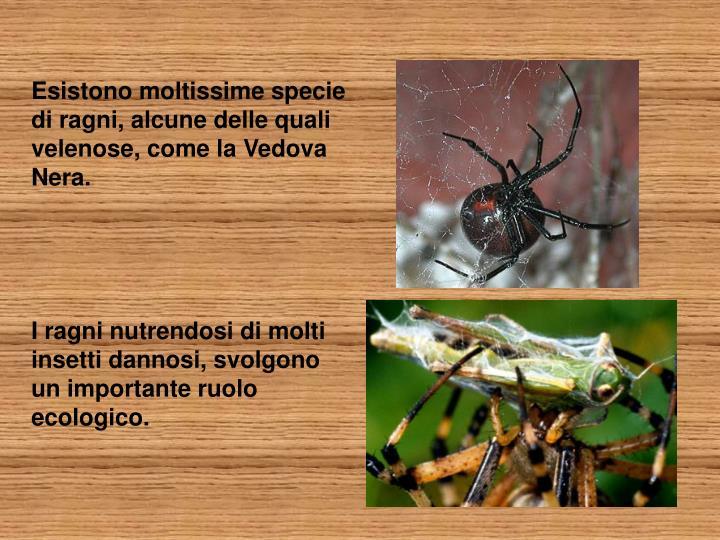 Esistono moltissime specie di ragni, alcune delle quali velenose, come la Vedova Nera.