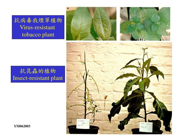 抗病毒我煙草植物