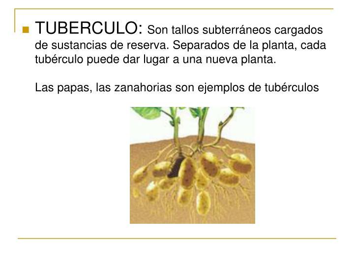 TUBERCULO: