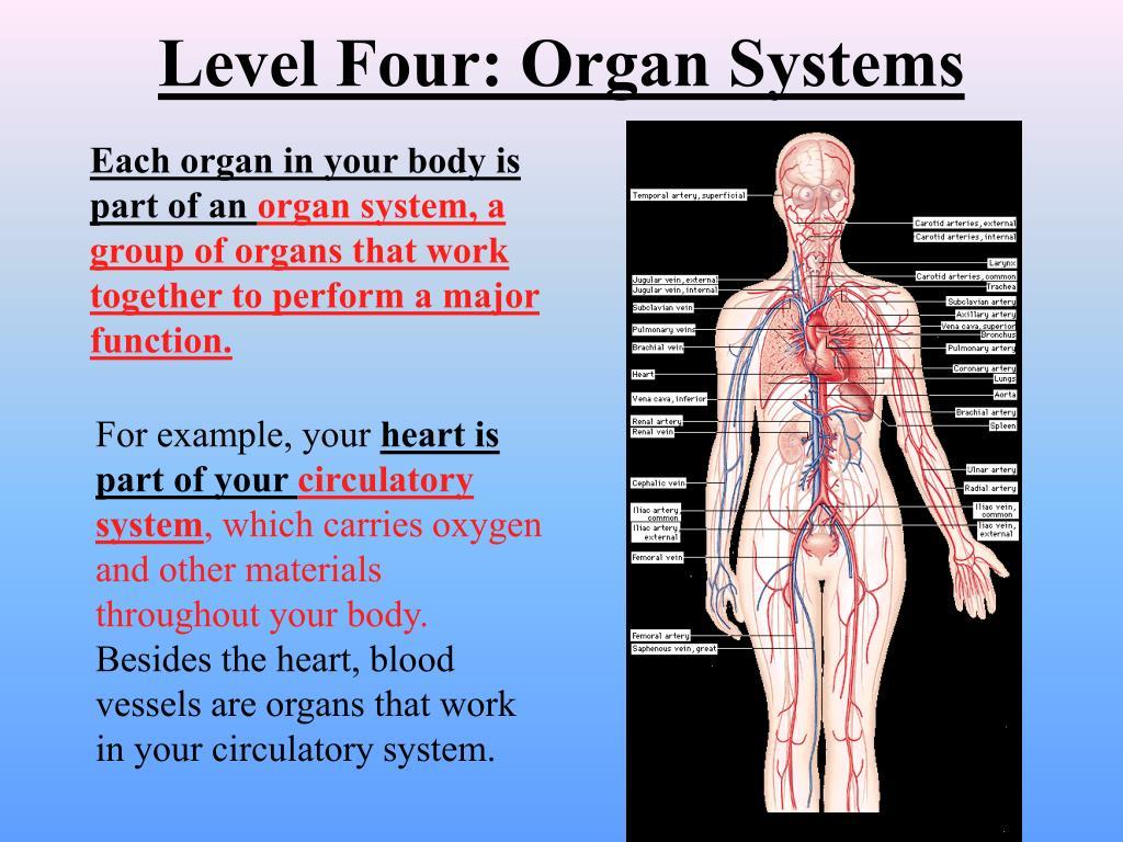 Level Four: Organ Systems