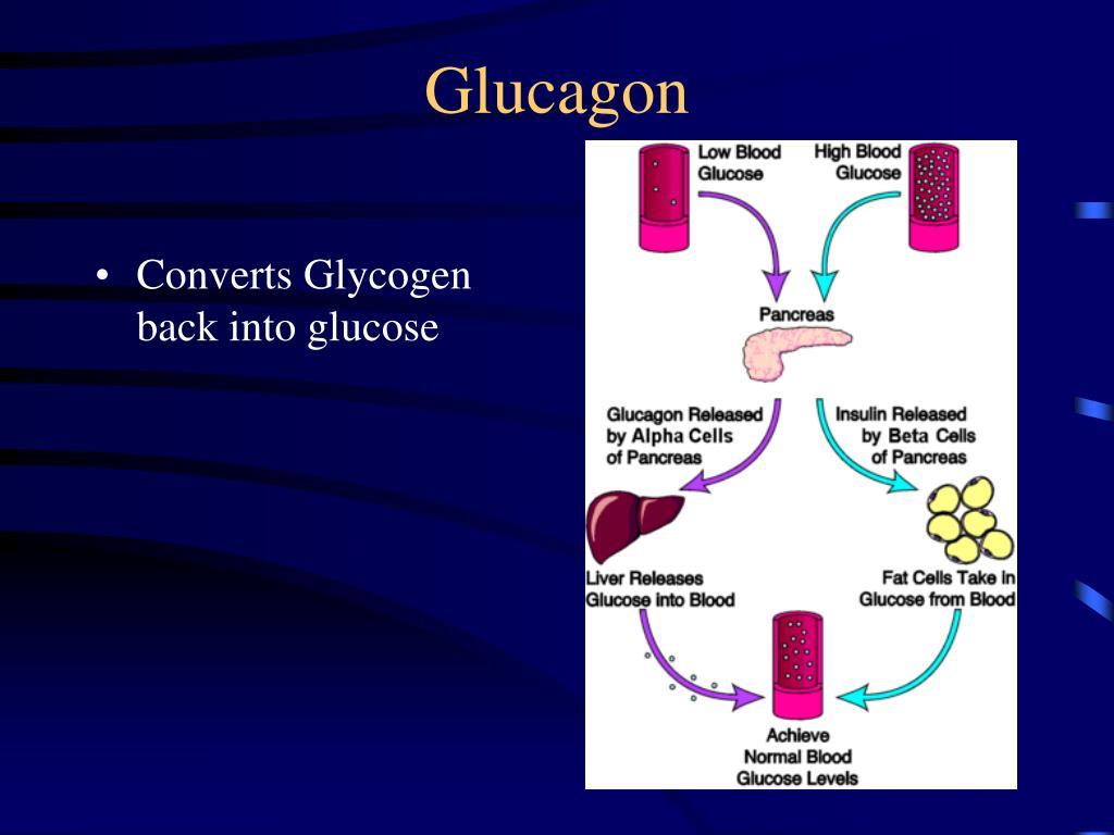Converts Glycogen back into glucose