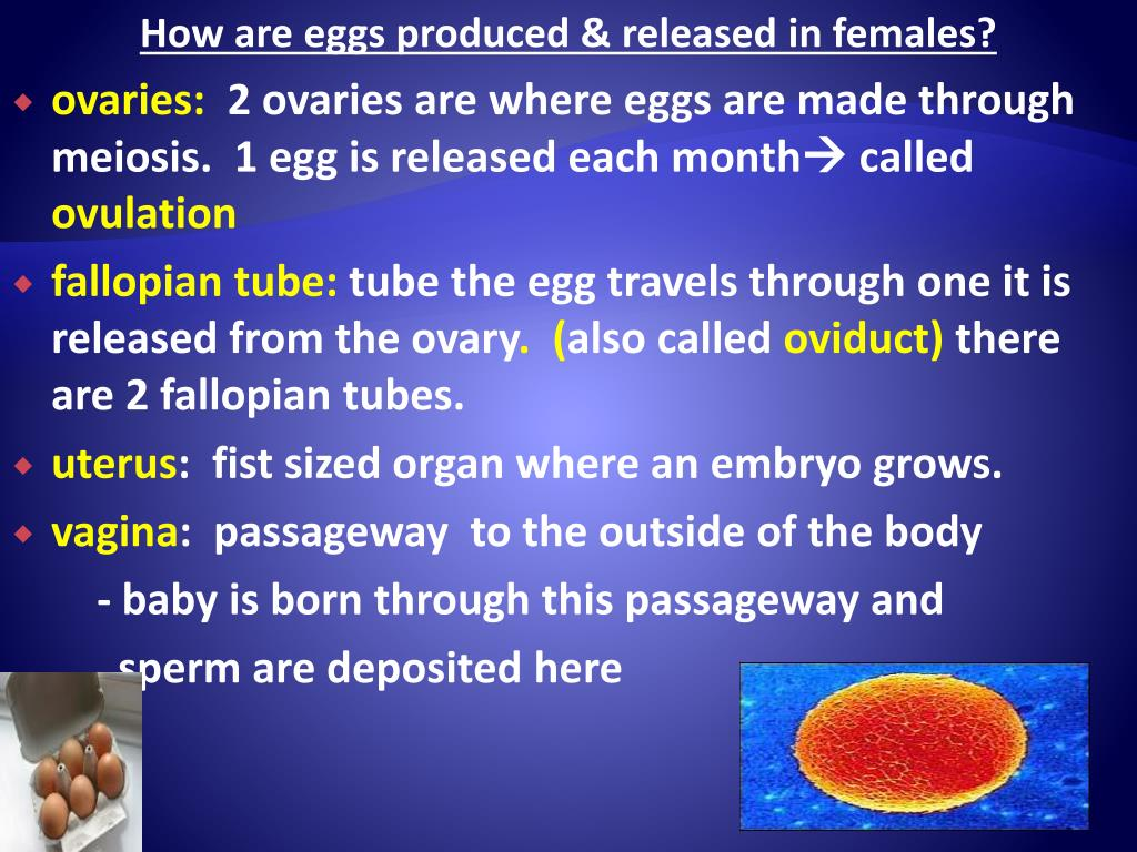How are eggs produced & released in females?