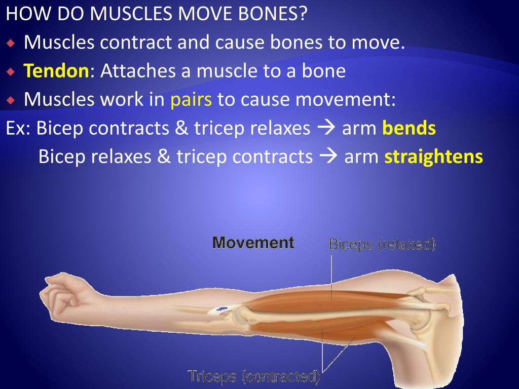 HOW DO MUSCLES MOVE BONES?