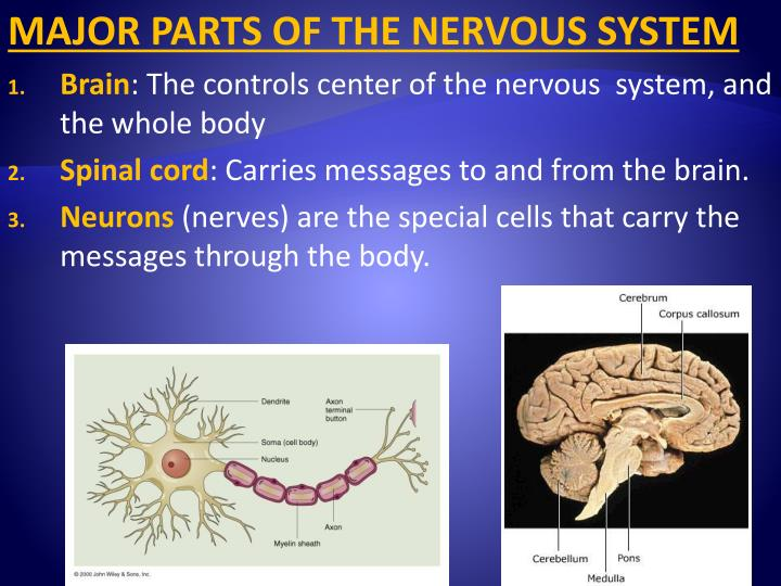MAJOR PARTS OF THE NERVOUS SYSTEM
