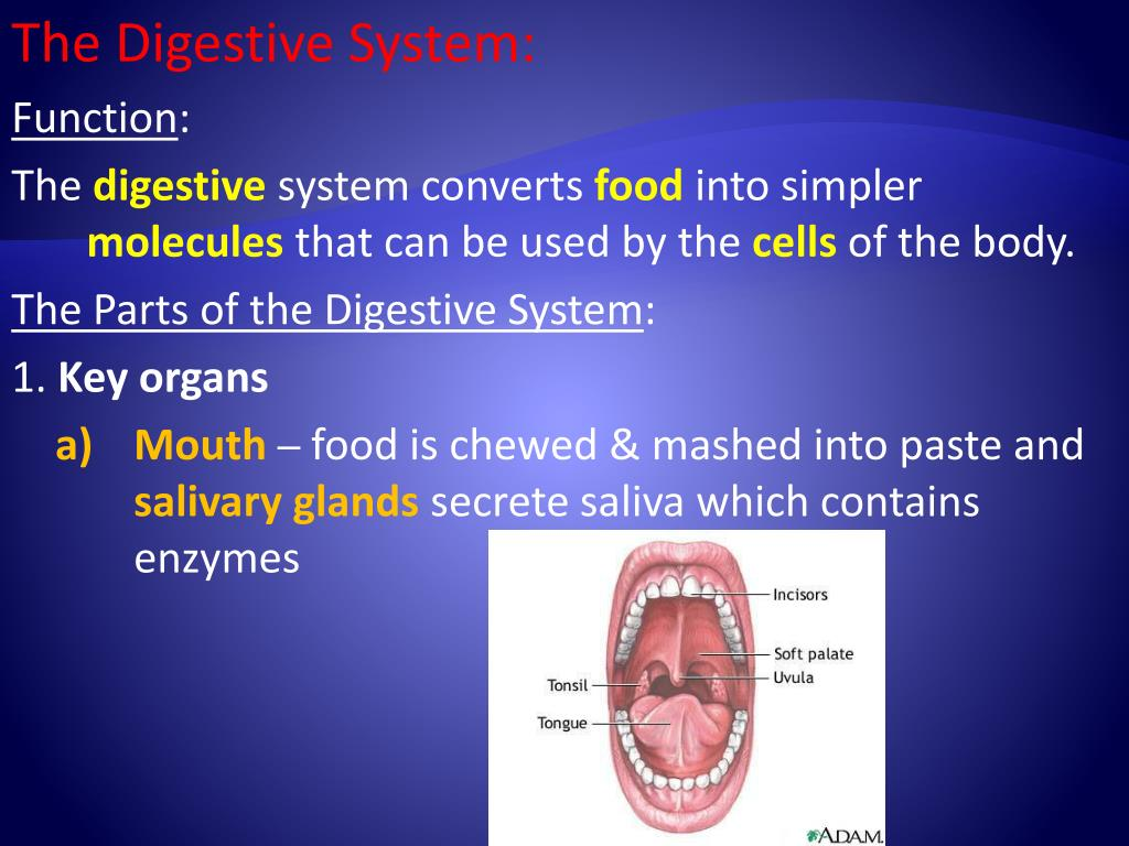The Digestive System: