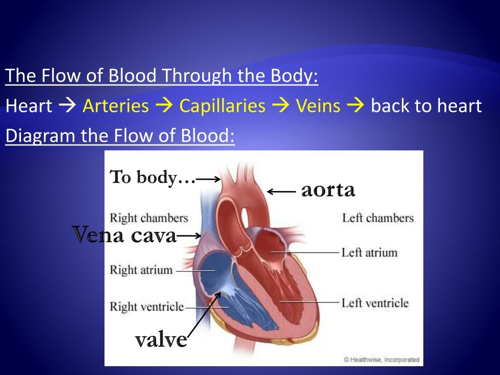 The Flow of Blood Through the Body: