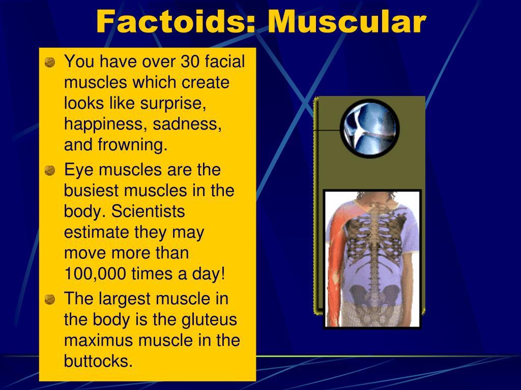 Factoids: Muscular