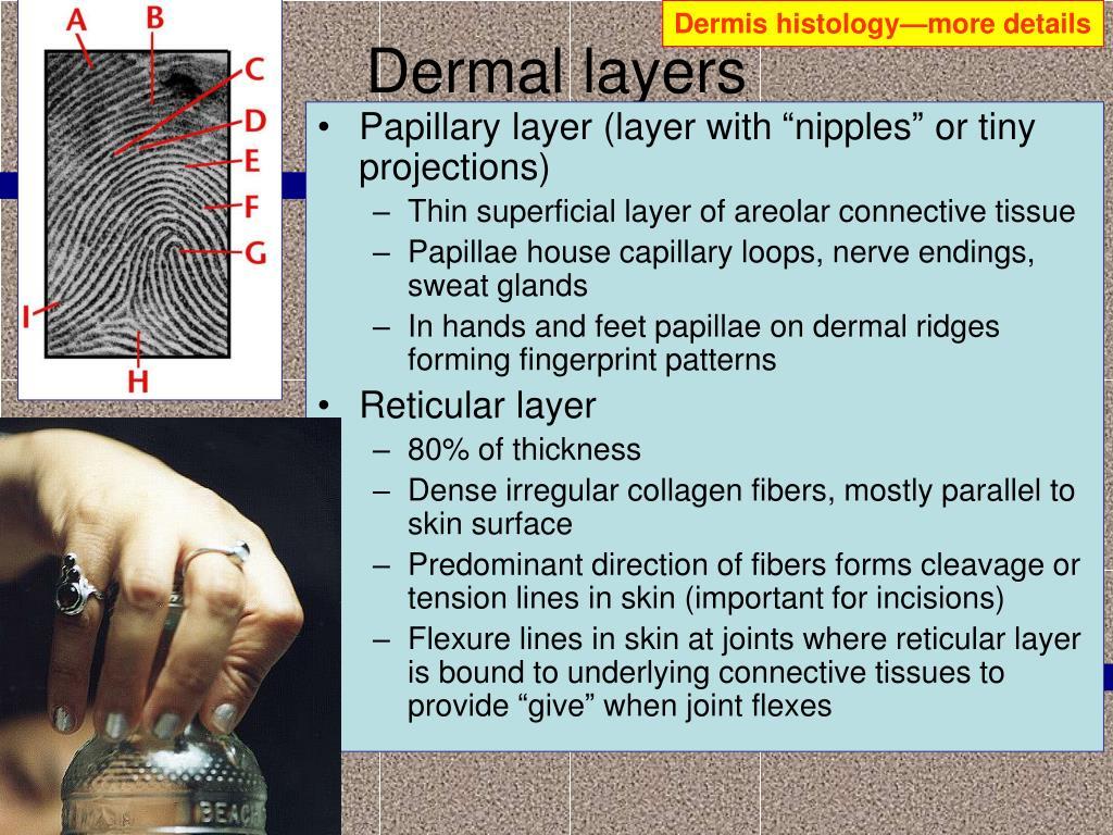 Dermis histology—more details