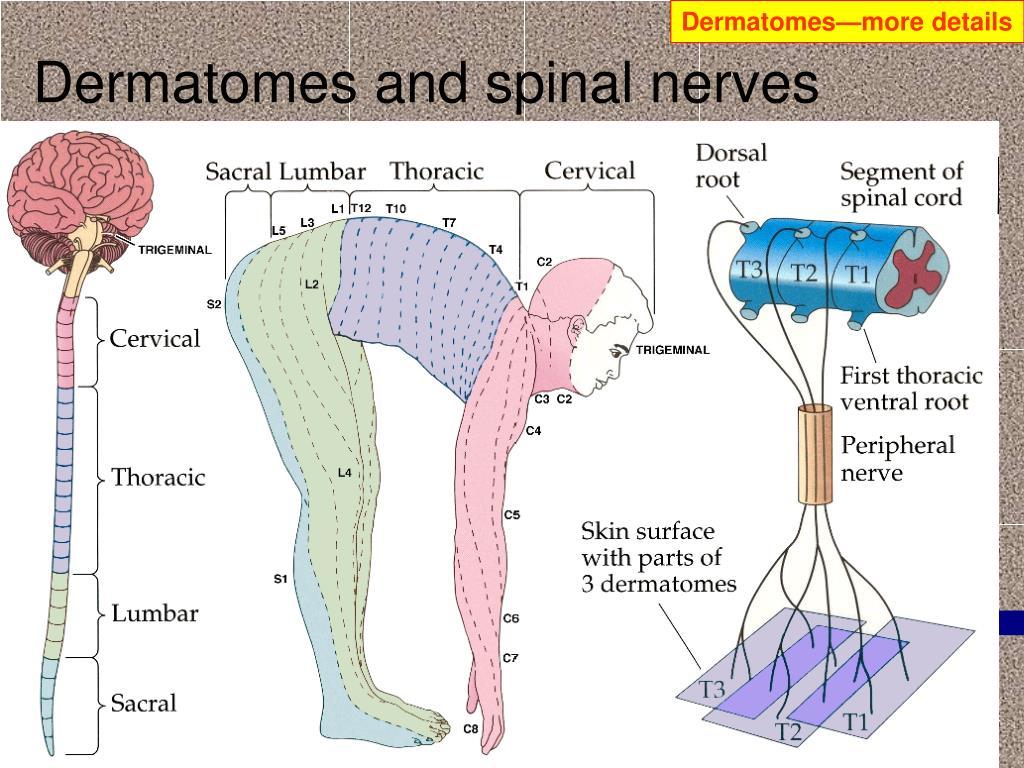 Dermatomes—more details