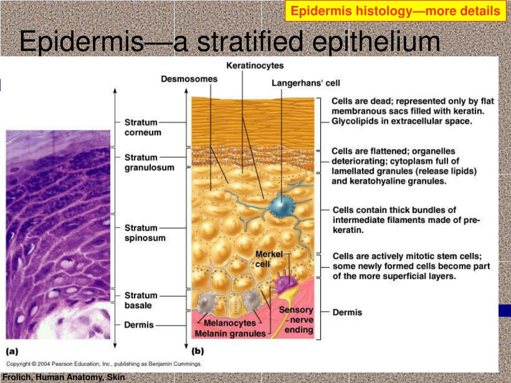 Epidermis histology—more details
