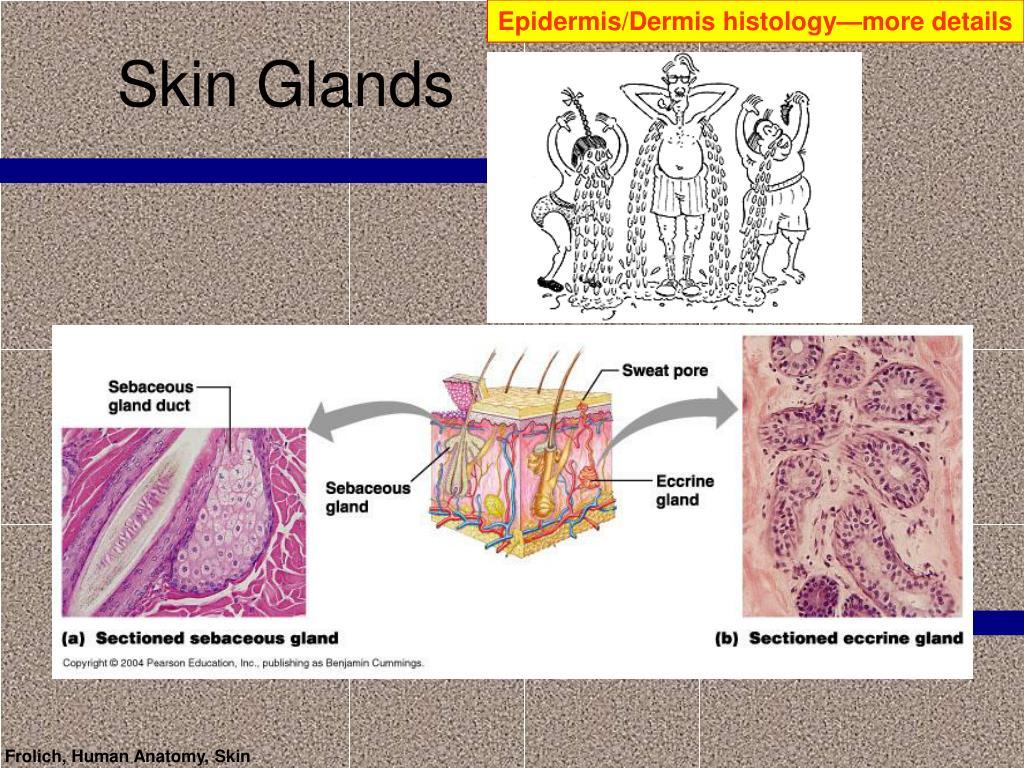 Epidermis/Dermis histology—more details